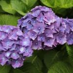 Hydrangea season on the West Coast…..