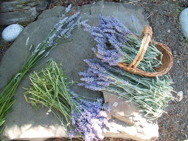 Lavender…..