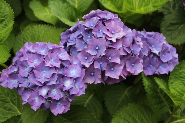 Hydrangea season on the West Coast…..